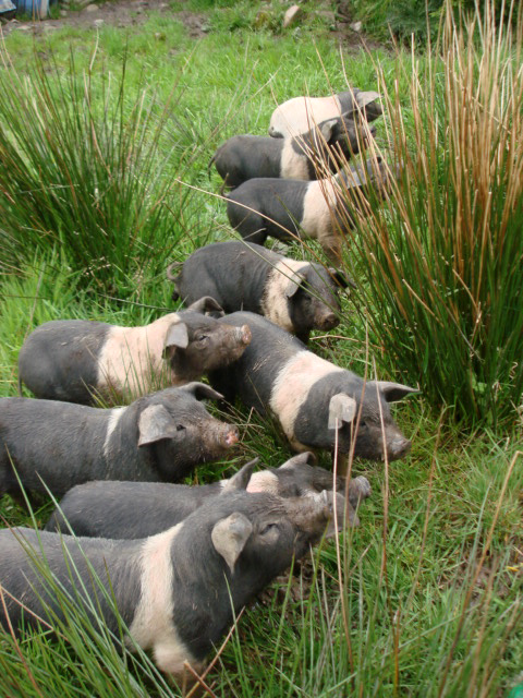 Raising And Butchering Weaner Pigs For Your Family Eco
