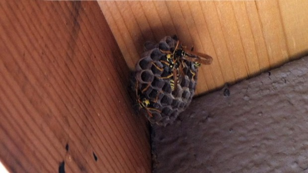 how to get rid of wasps naturally eco snippets. Black Bedroom Furniture Sets. Home Design Ideas