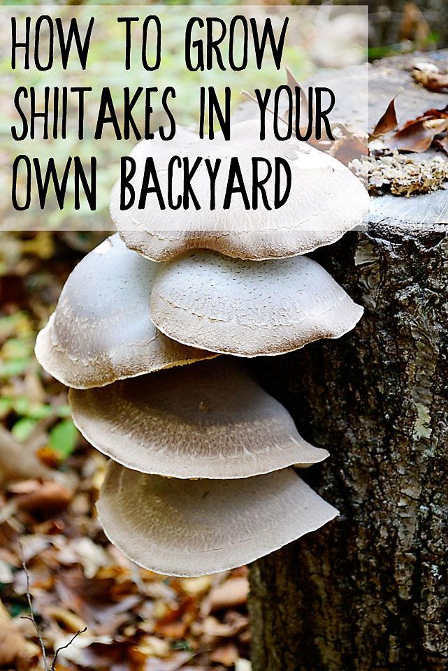 How To Grow Shiitake Mushrooms In Your Own Backyard - Eco ...