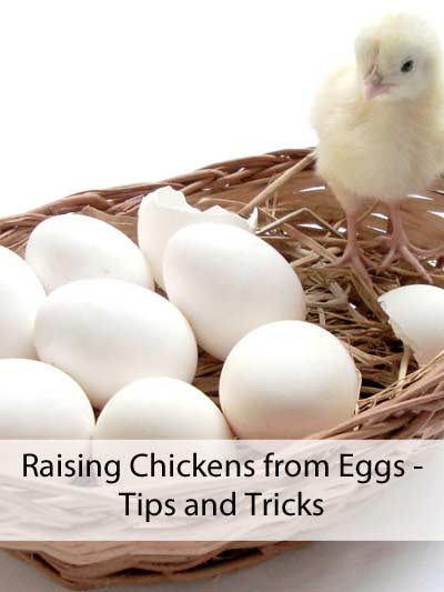 Raising Chickens From Eggs - Tips & Tricks - Eco Snippets