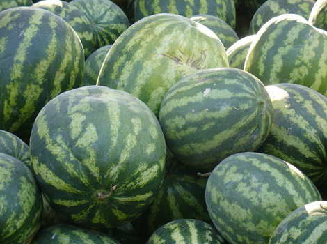 Melon A Growing Guide Eco Snippets