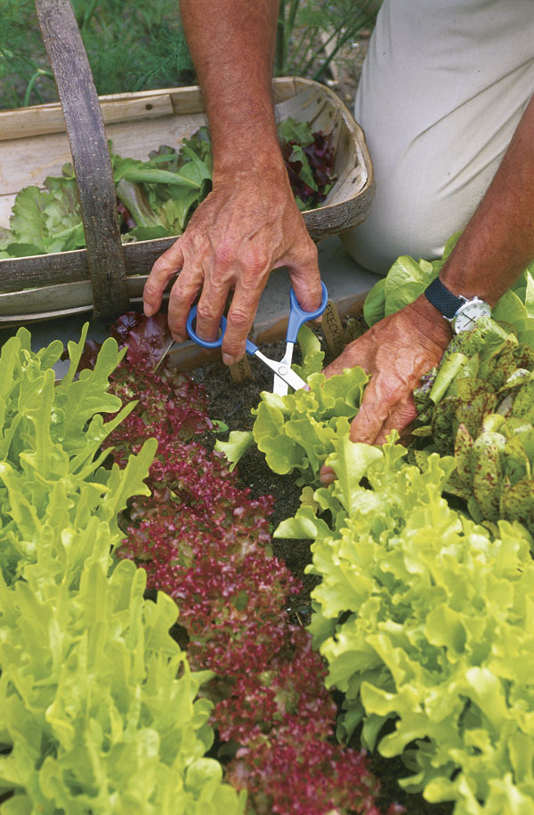 how to cut lettuce so it grows back