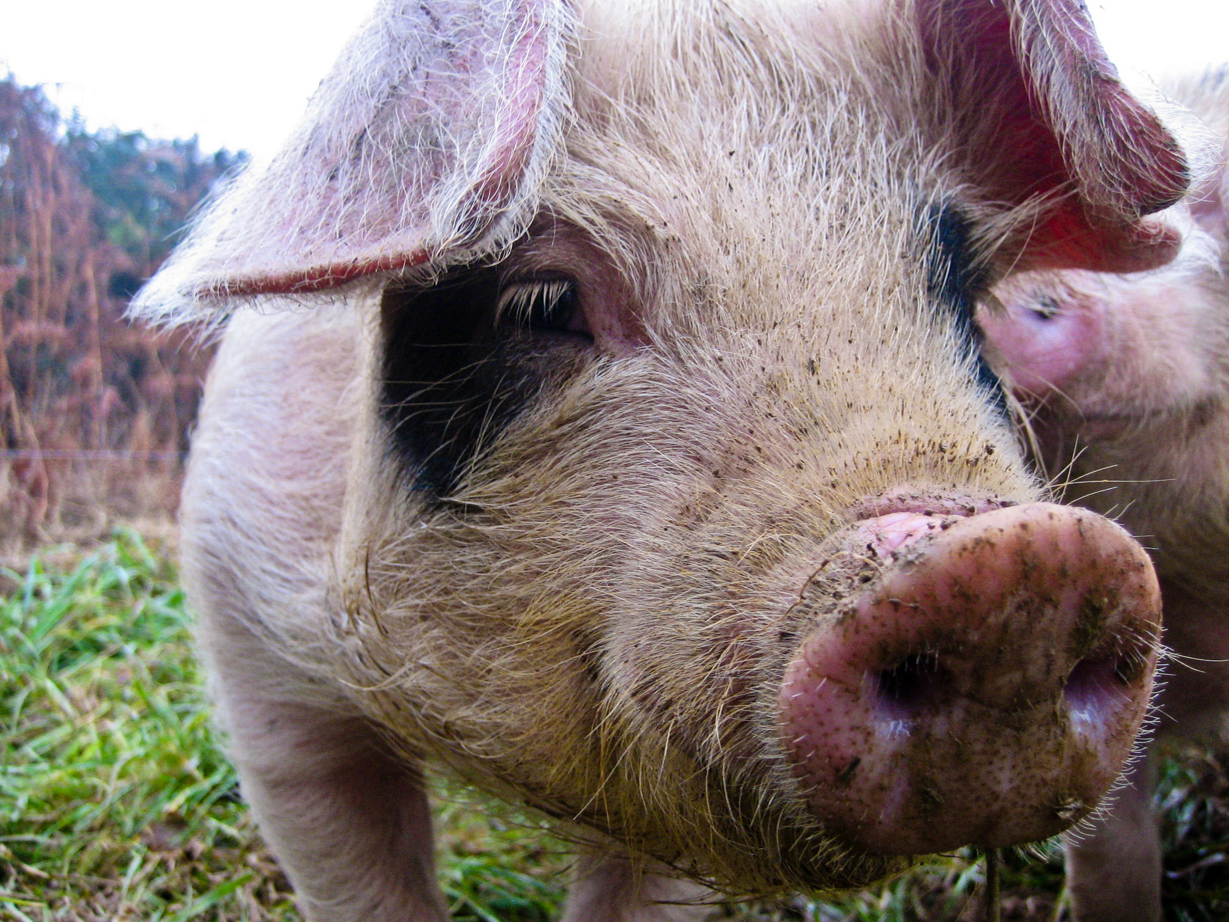 How To Raise Pastured Pigs Without Buying Feed Eco Snippets