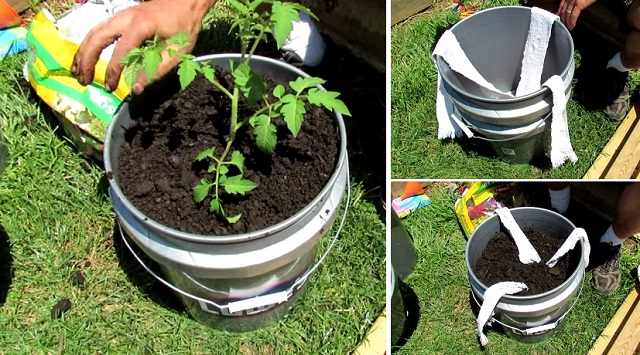 How to build a 5 gallon self wicking tomato watering Self watering 5 gallon bucket garden