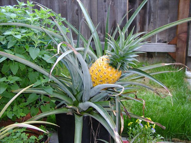 how to easily grow your own pineapples at home eco snippets