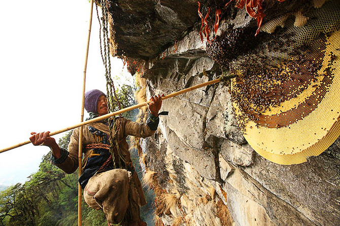 The Hallucinogenic Honey Of Giant Himalayan Bees...