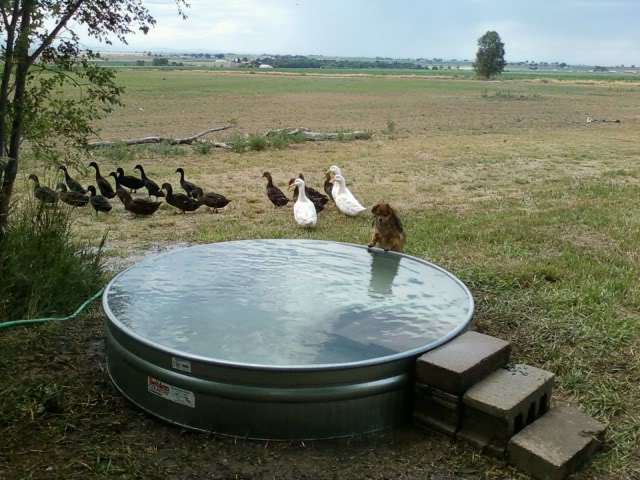 Galvanized stock tank turned into a simple diy pool eco for Homemade biofilter for duck pond