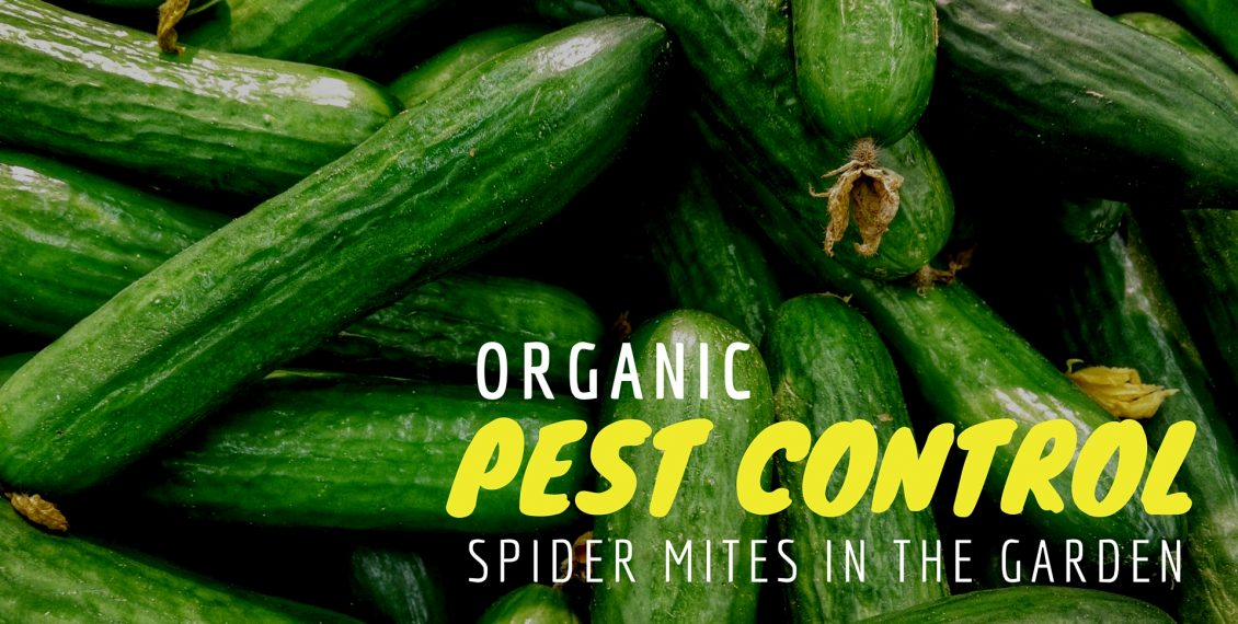 how to get rid of spider mites organically