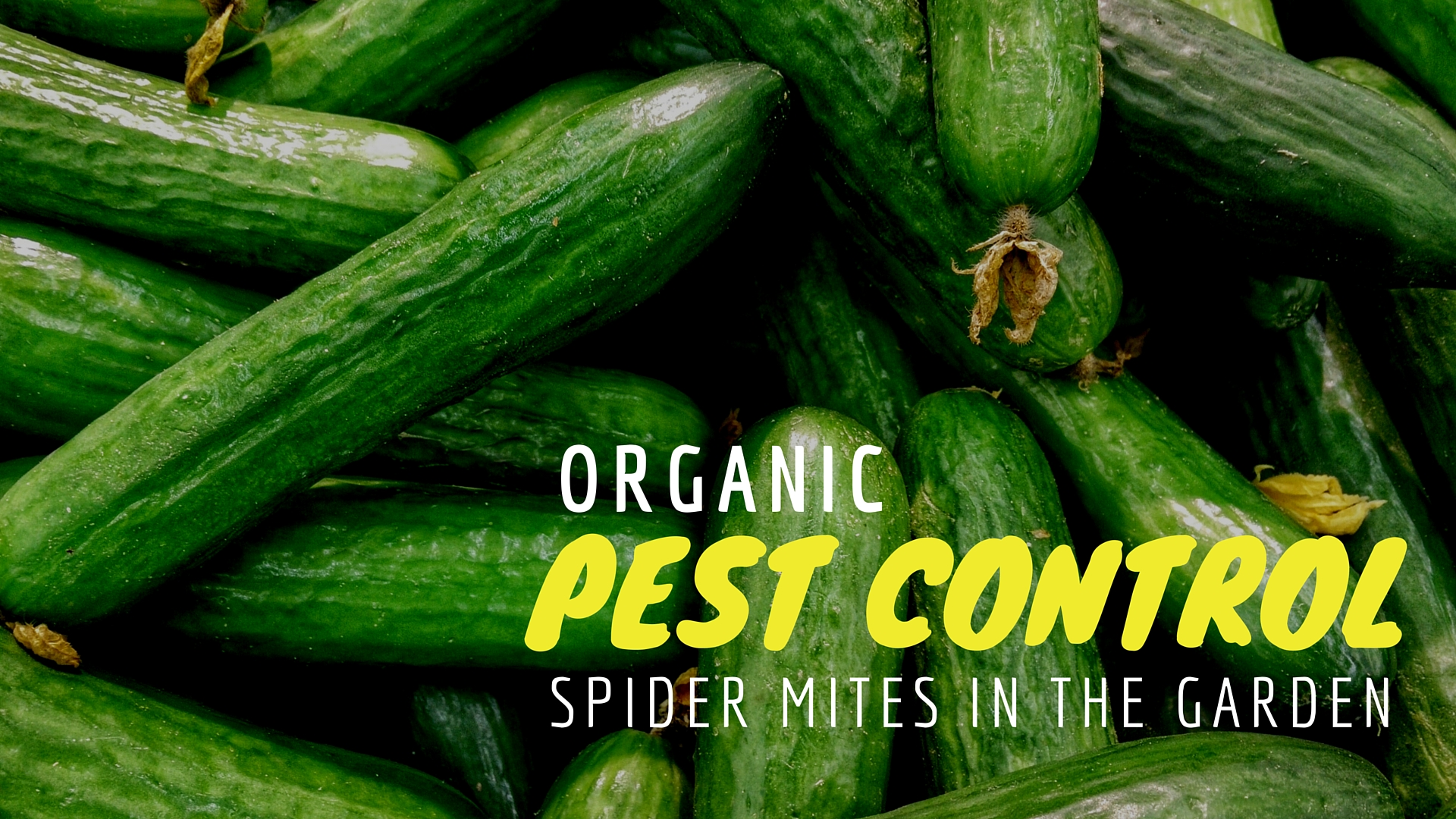 organic spider mite control using insects u2026