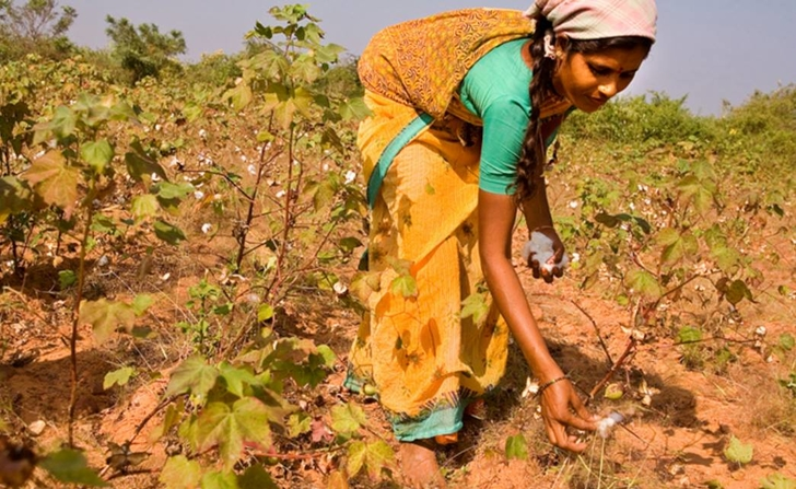 Monsanto Losing Millions As Farmers In India Rebel & Plant Indigenous Cotton Seed...