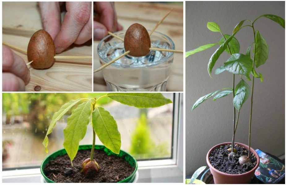 how to grow an avocado plant from seed eco snippets. Black Bedroom Furniture Sets. Home Design Ideas