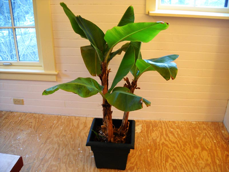 How To Grow Banana Trees In Pots...