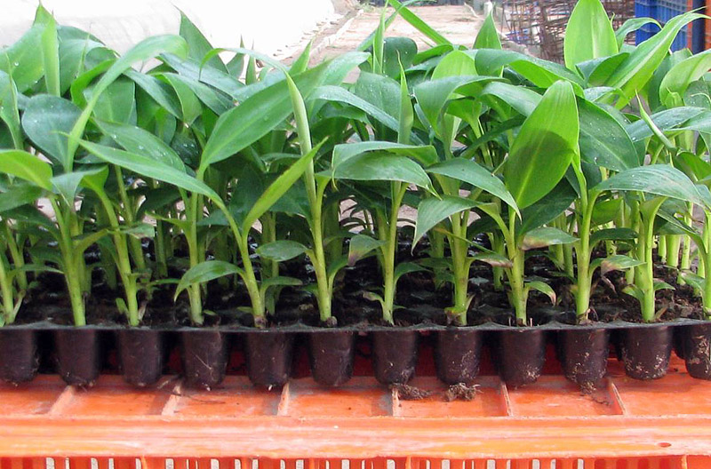 How To Grow Banana Trees In Pots Eco Snippets