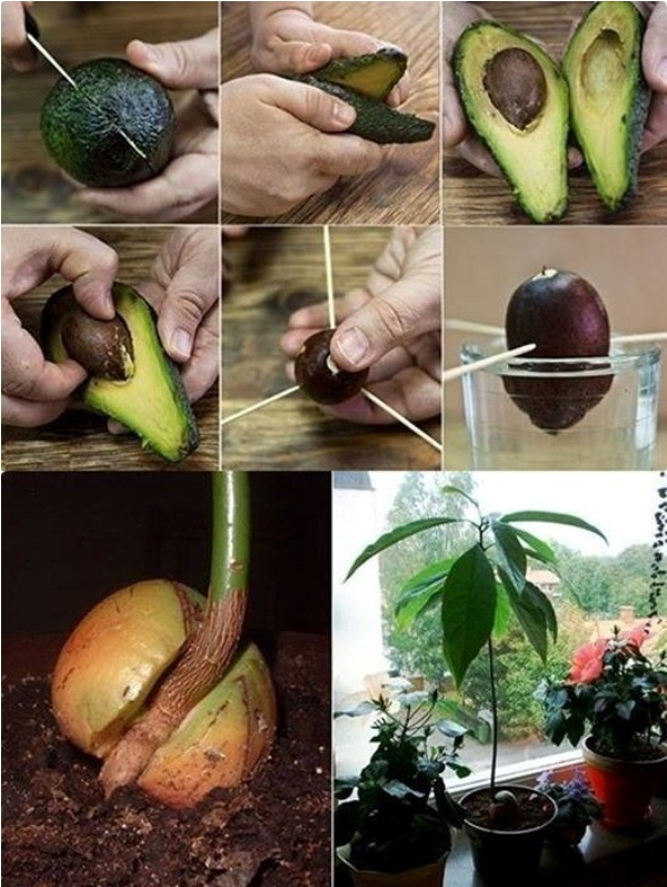 how to grow an avocado tree from seed eco snippets. Black Bedroom Furniture Sets. Home Design Ideas