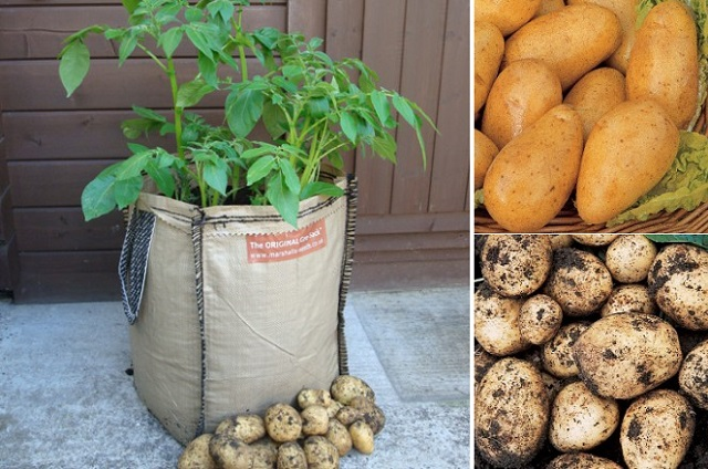 How to grow potatoes in planter bags or sacks eco snippets - Comment planter des patates ...