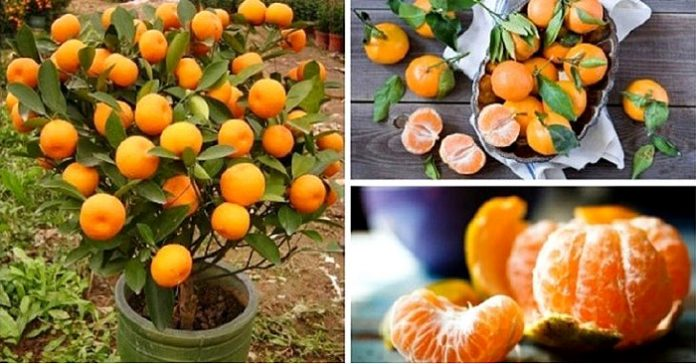 Stop Buying Tangerines. Plant Them In A Flowerpot And You Will Always Have Hundreds Of Them...