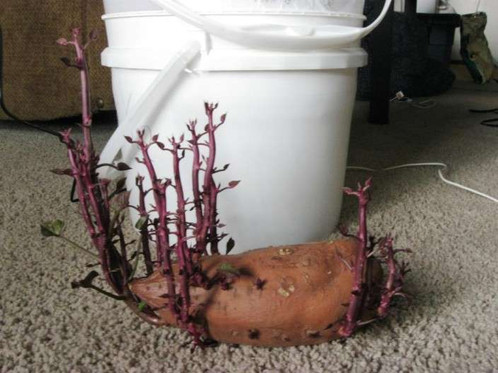 How To Grow 25 Pounds Of Sweet Potatoes In A Bucket...