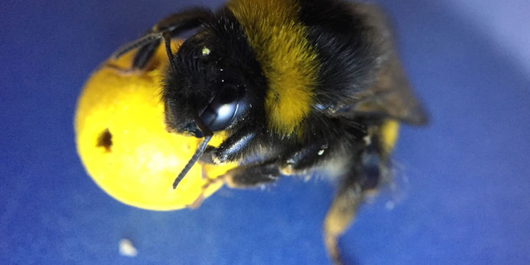 Bees Prove They Are Highly Intelligent To Amazed Scientists...