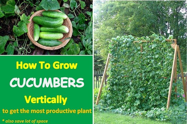 Growing Cucumbers Vertically To Get A Bigger Harvest...