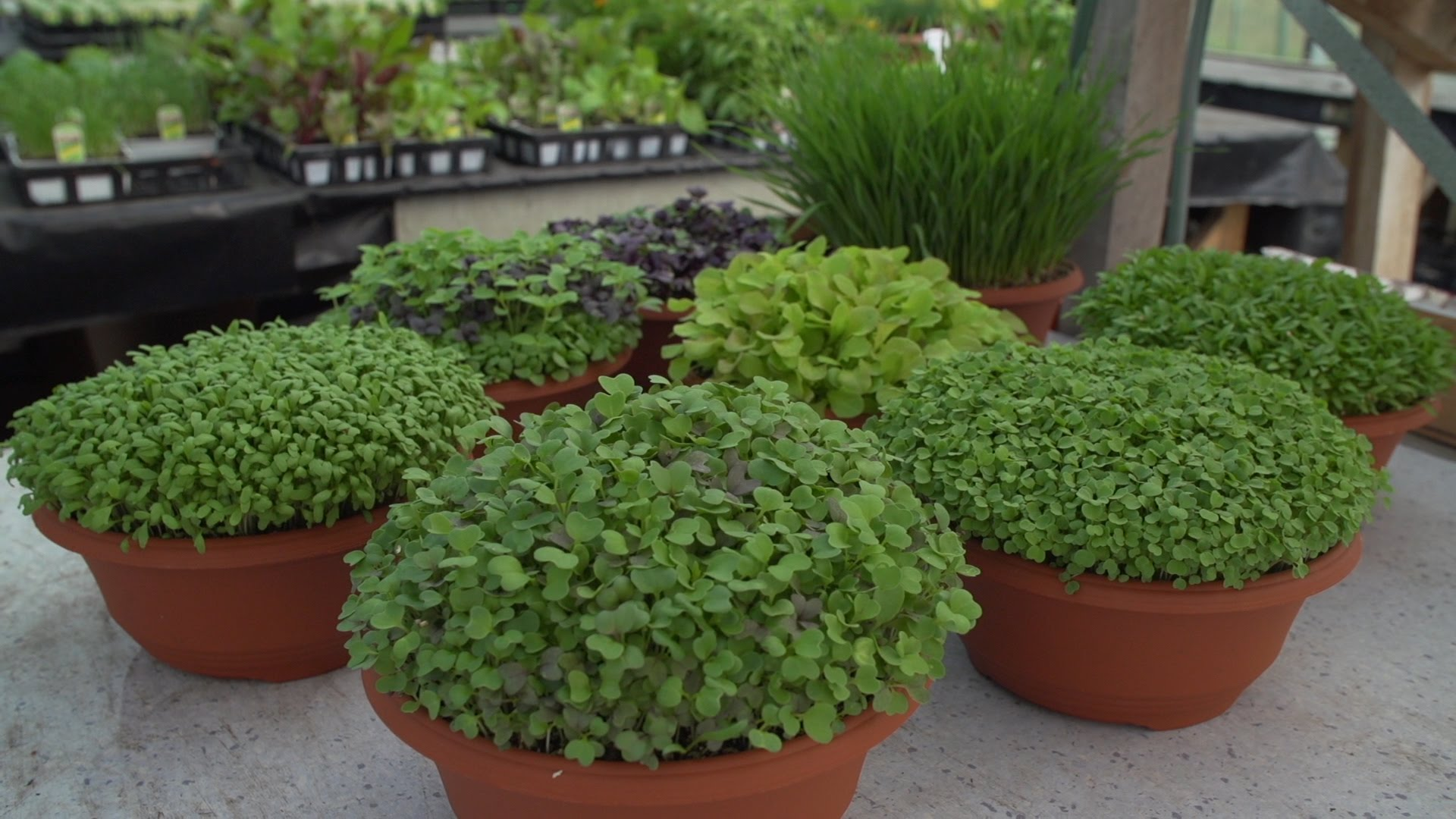 How To Grow Microgreens And The Benefits Of Wheatgrass…