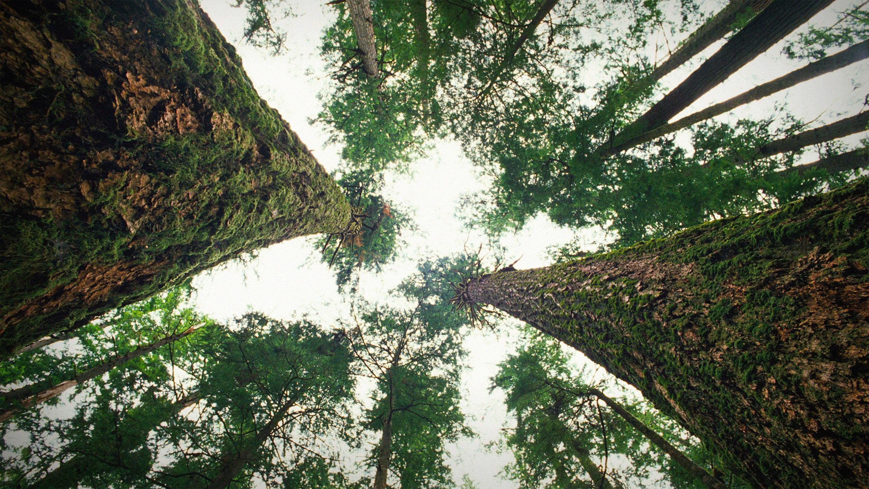 How Trees Talk To Each Other Over Vast Distances Eco