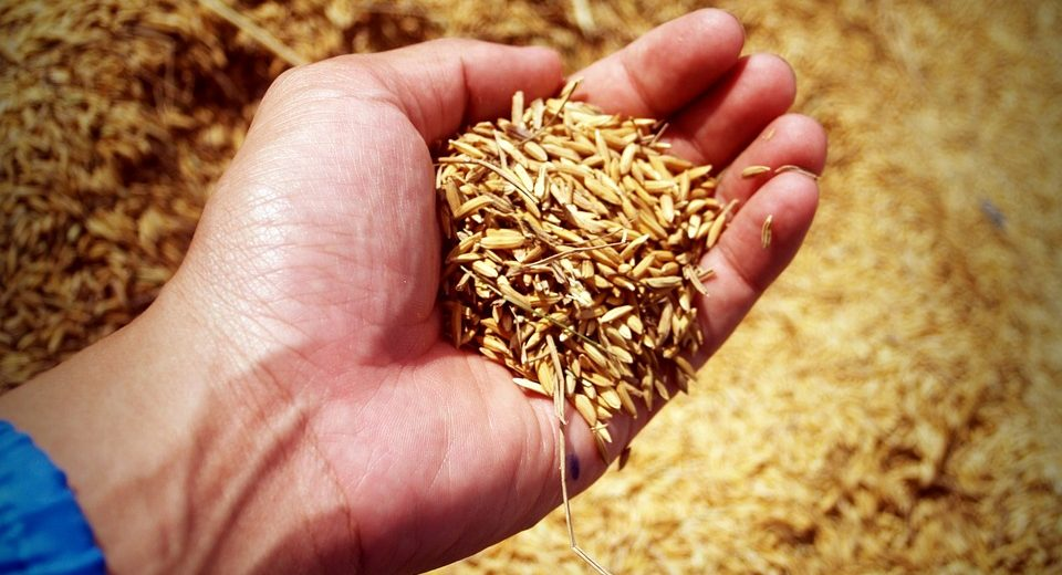 Organic Rice Crop Yields Debunk Myth GMOs Are Needed To Feed The World...