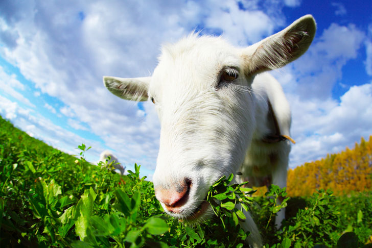 Goats Eat Weeds – Using Goats For Vegetation Management...