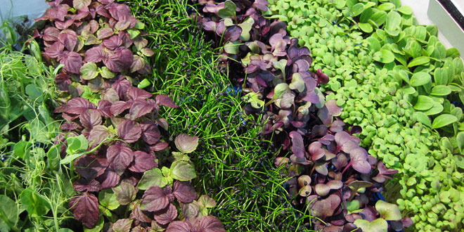 Small Commercial Microgreen Production – Getting $20-$30 Per Flat...