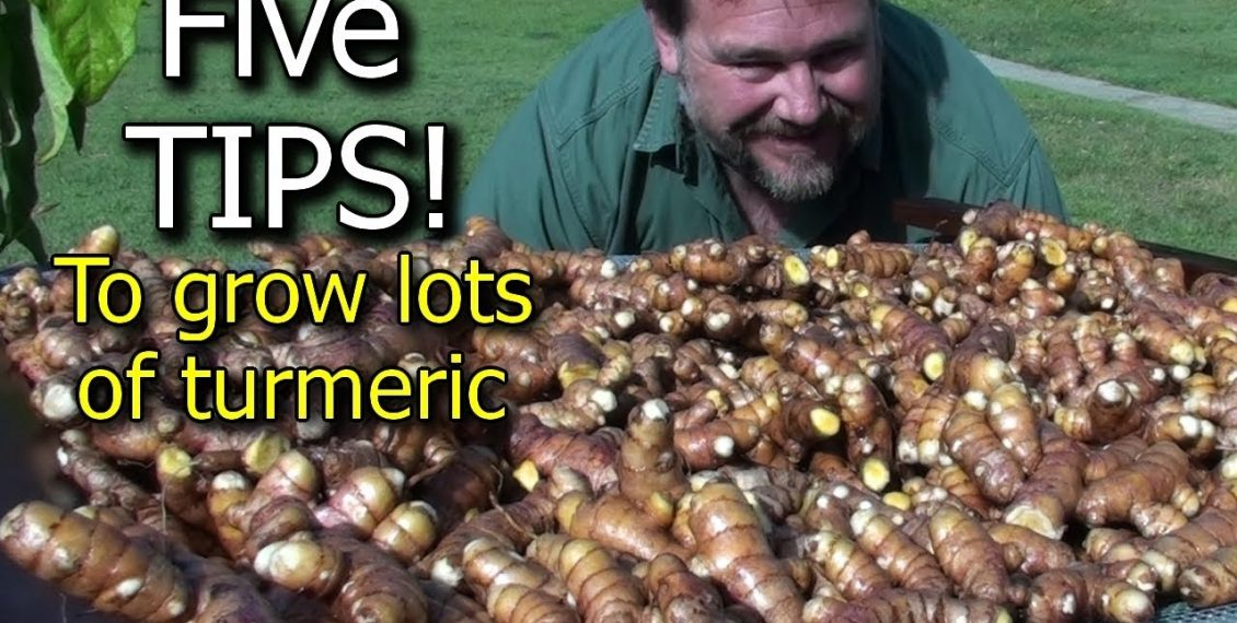 5 Tips To Grow A Ton Of Turmeric In Just 3 Square Feet Of Garden Bed...