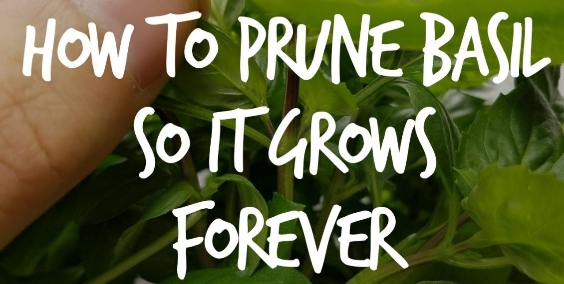 How To Prune Basil So It Grows Forever...
