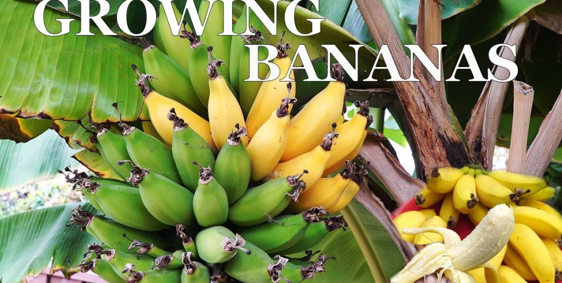 Three Year Bananas – Growing Dwarf Banana Trees In Your Garden...