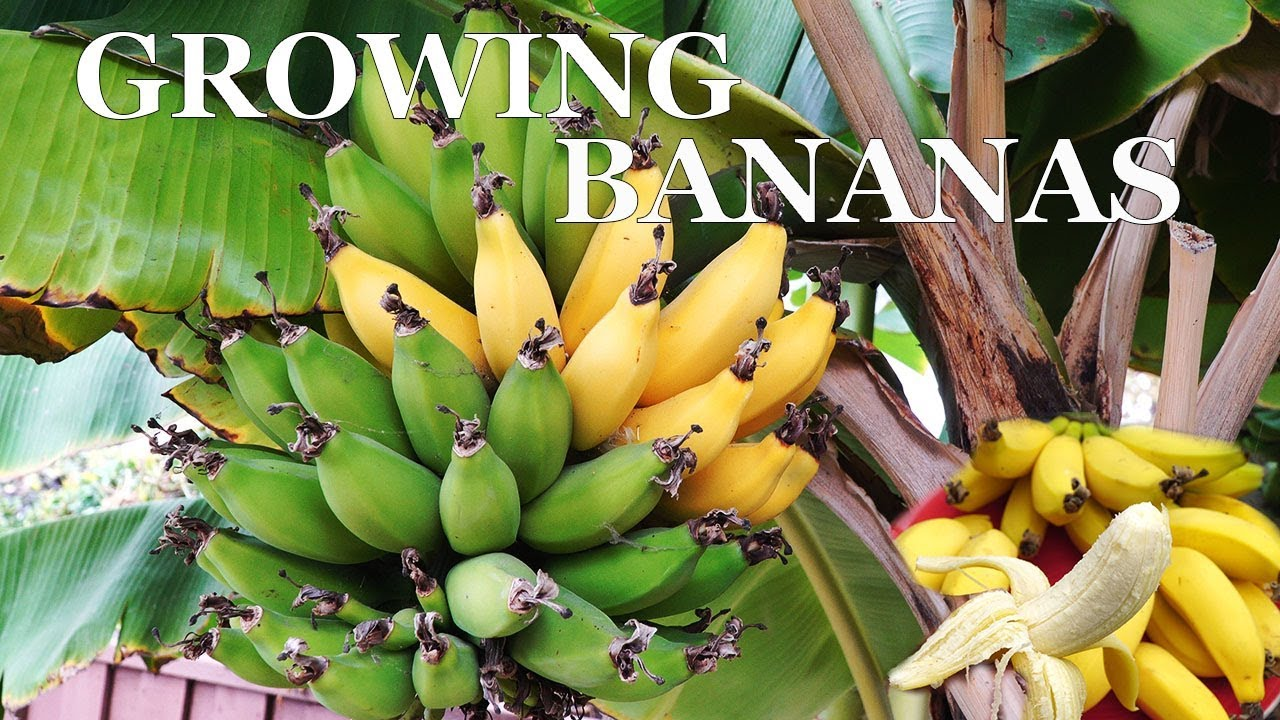 Three Year Bananas Growing Dwarf Banana Trees In Your