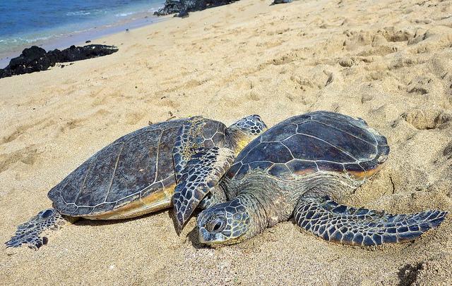 Microplastics Found In All Sea Turtle Species...