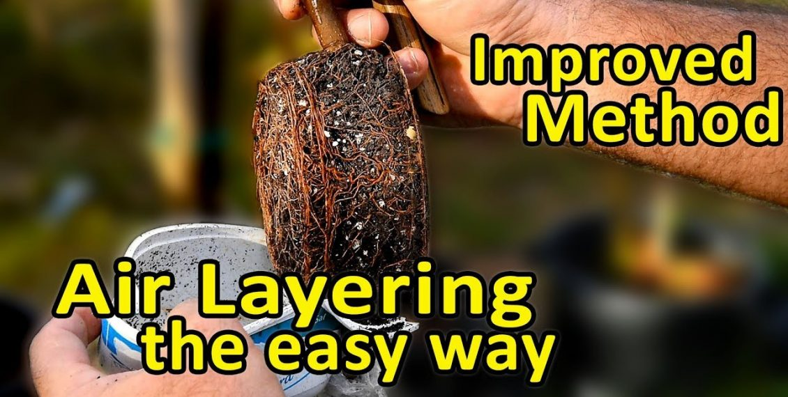Clone Your Fruit Trees The Easy Way With Air Layering...