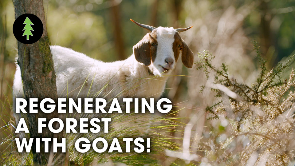 How Goats Are Regenerating A Forest & Protecting This Town From Bushfire...