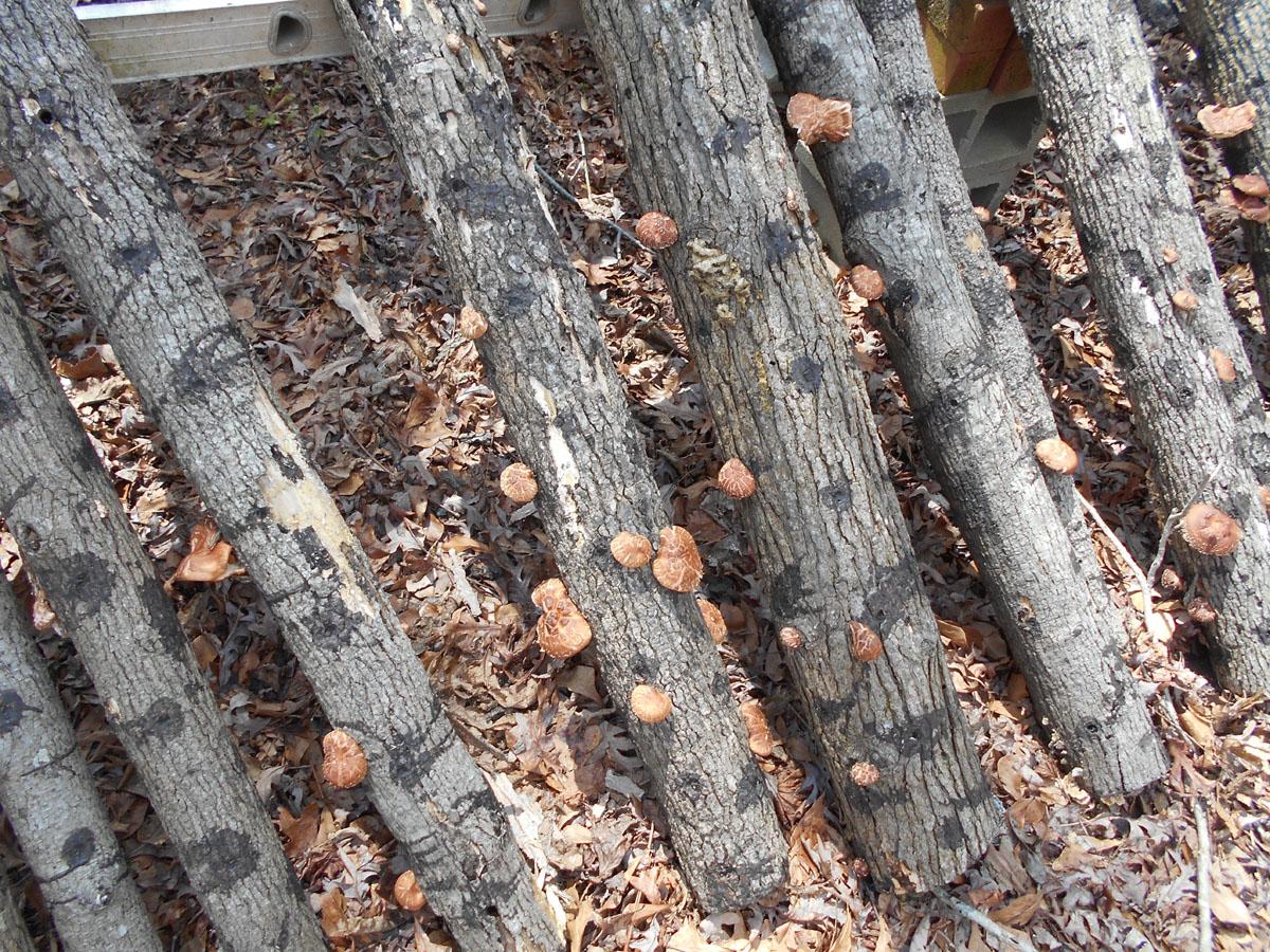 Growing Beautiful Shiitake Mushrooms
