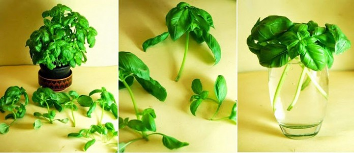 Grow An Infinite Supply Of Herbs In Water With Plant Cuttings You Already Have...