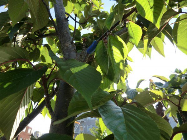 The Guerrilla Grafting Movement – Secretly Grafting Fruit-Bearing Branches Onto Ornamental City Trees...