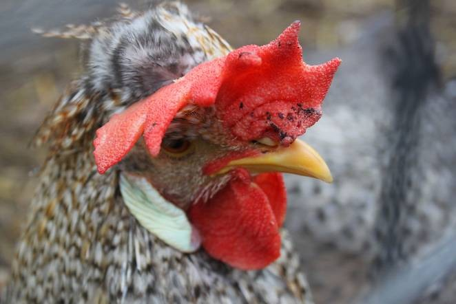 Chickens Are A Lot Smarter Than Most People Think...
