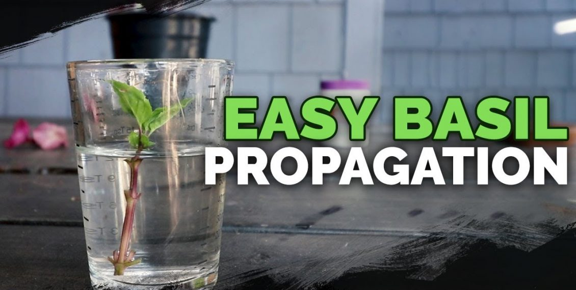 Propagating Basil: How To Grow An Infinite Supply...