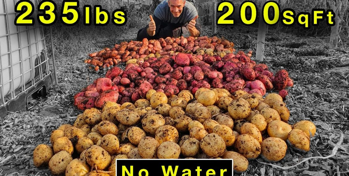 Growing 235 lbs Of Potatoes In 200 sq ft Without Watering...